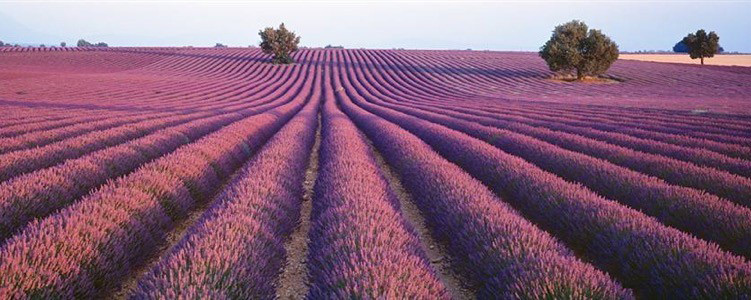 provence-centre-lavender-flowers-2