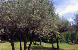 provence-centre-olive-trees