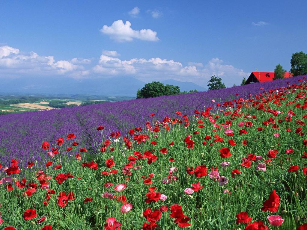 provence-centre-lavender-spring