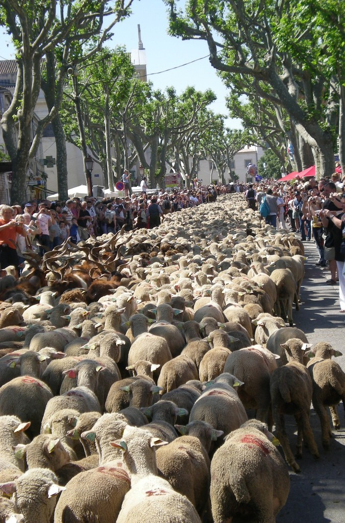 provence-centre-transhumance-muttons